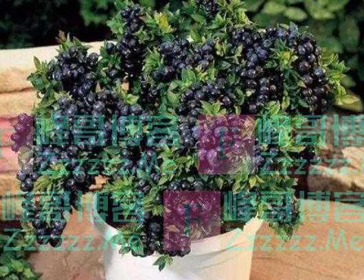 蓝莓太贵,吃不起?种子不要扔,埋土里,3年结果,想吃就摘