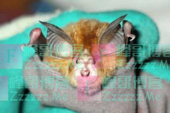 """蝙蝠是移动的""""病毒库"""",携带4100多种病毒,但为何能安然无恙?"""