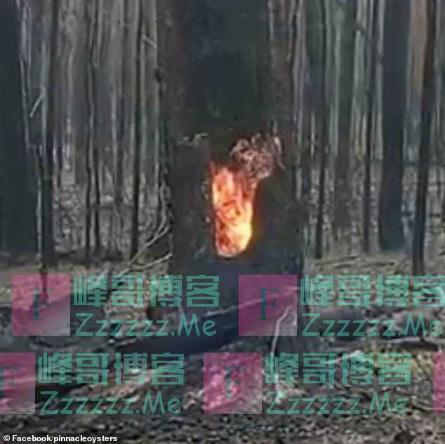 野火烧不尽!澳洲男子发现连续暴雨后,树干中仍有大火在燃烧