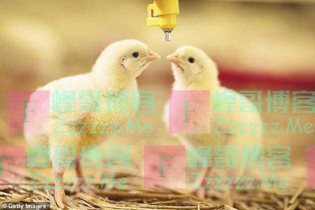 英国快速养鸡遭强烈谴责,从生到死仅35天,称要吃正常长大的鸡