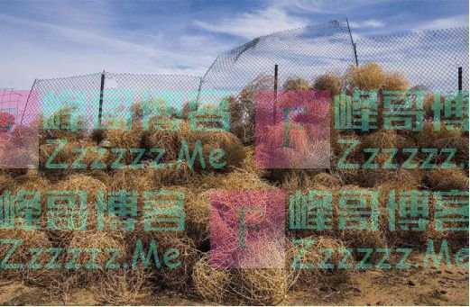 风滚草成为外国的噩梦,却成为中国人的美梦?风滚草:我太难了