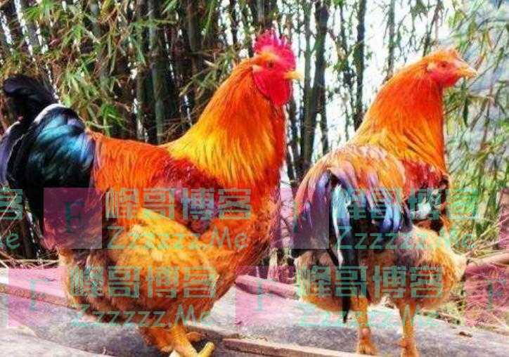 如果人类不吃鸡,鸡能活到多少岁?科学家的答案让人难以置信