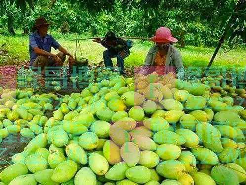 中国即将恢复越南芒果进口,海南芒果面临滞销