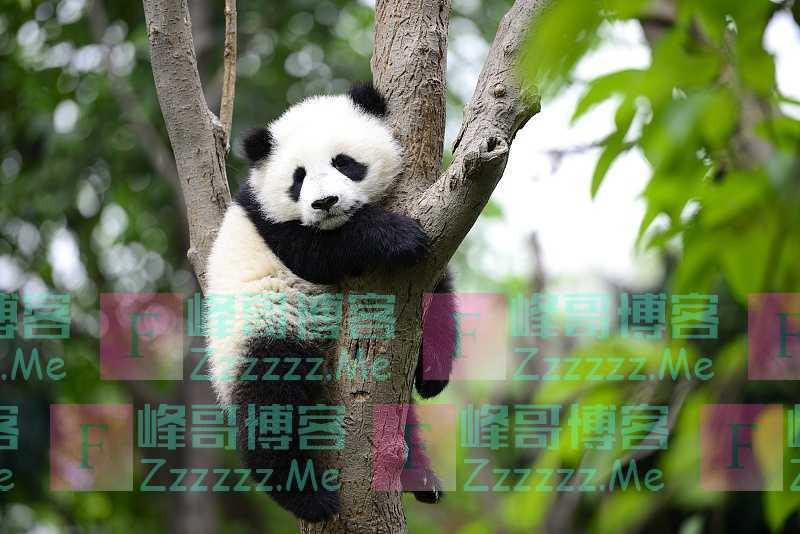 """熊猫也""""失业""""?疫情导致竹子断供,加拿大忍痛提前送回熊猫"""