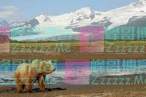 他与棕熊亲密相处13年,最终悄无声息失踪,朋友:他在棕熊肚子里