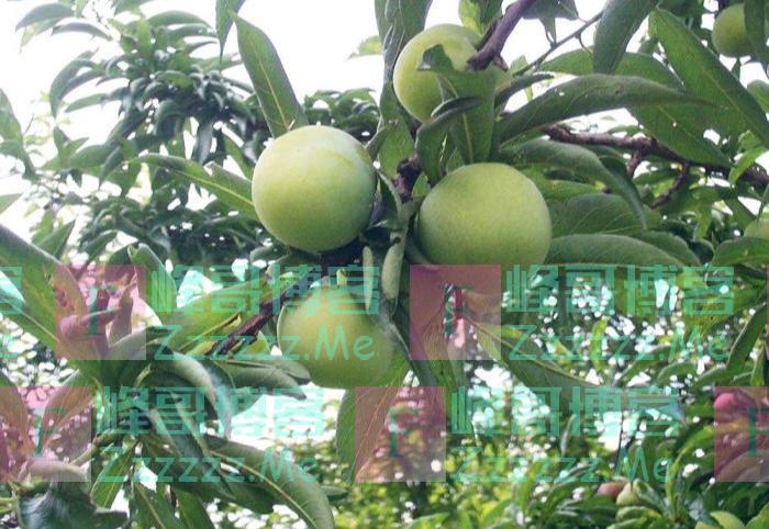每年7月才有,全国仅一个地方能种出来,15元一斤成致富树