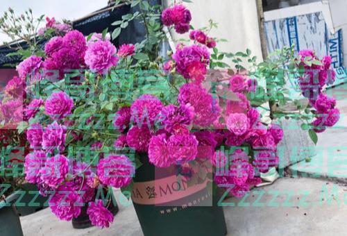 此花是世界名花,颜值超牡丹,香味胜茉莉,跟着养护专家学起来