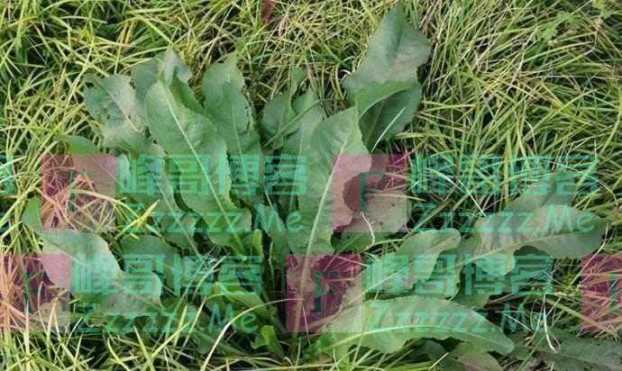 """乡下一种野草,因为口感""""奇酸"""",猪都不爱吃,现在河边大量生长"""
