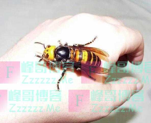 1小时就能消灭6万只蜜蜂,却被蜜蜂用物理学反制,它有多惨?