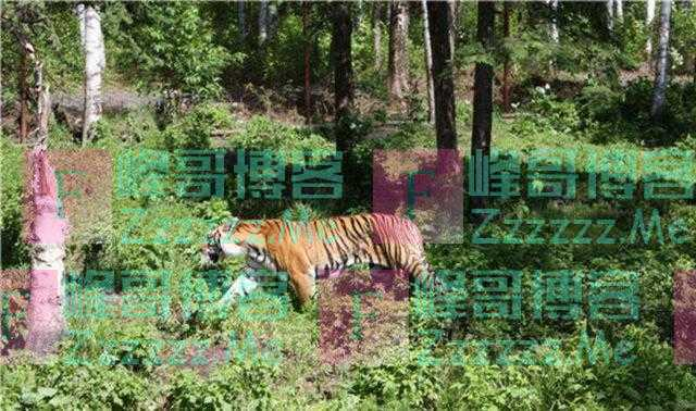 为什么要保护老虎?保护老虎意味着什么,会不会再产生虎患?