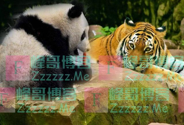熊猫肉多,为何狮子老虎不吃它?熊猫:去道上问下以前的名字