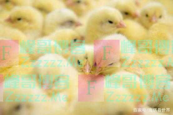 联合国:中国不可怕,可怕的是中国用5亿只鸡解决了世界难题