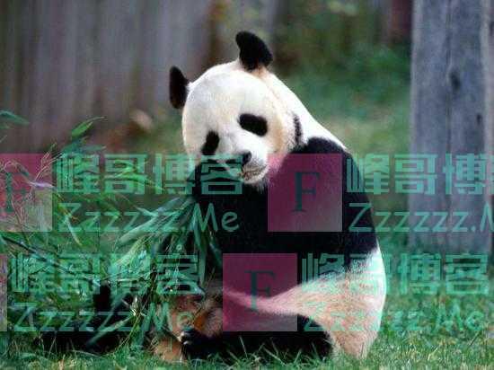 旅美大熊猫被曝遭虐待,饿成皮包骨,样子惨不忍睹,我方回应来了
