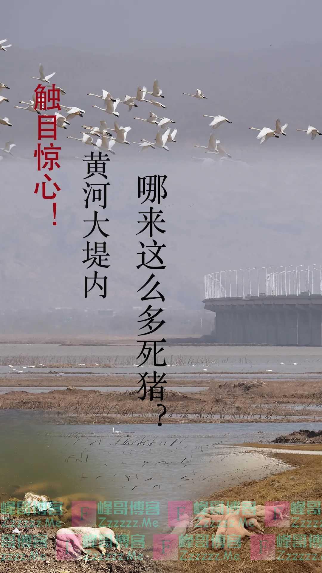 触目惊心!黄河大堤内多处现大量死猪,有的已风化成骨架