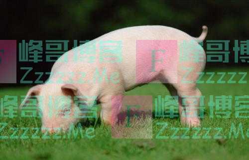 """生猪价格九周连降 猪企利润""""触底""""了吗"""