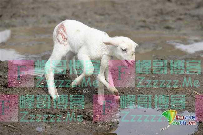 土耳其小羊羔天生长有六条腿 不影响正常行走