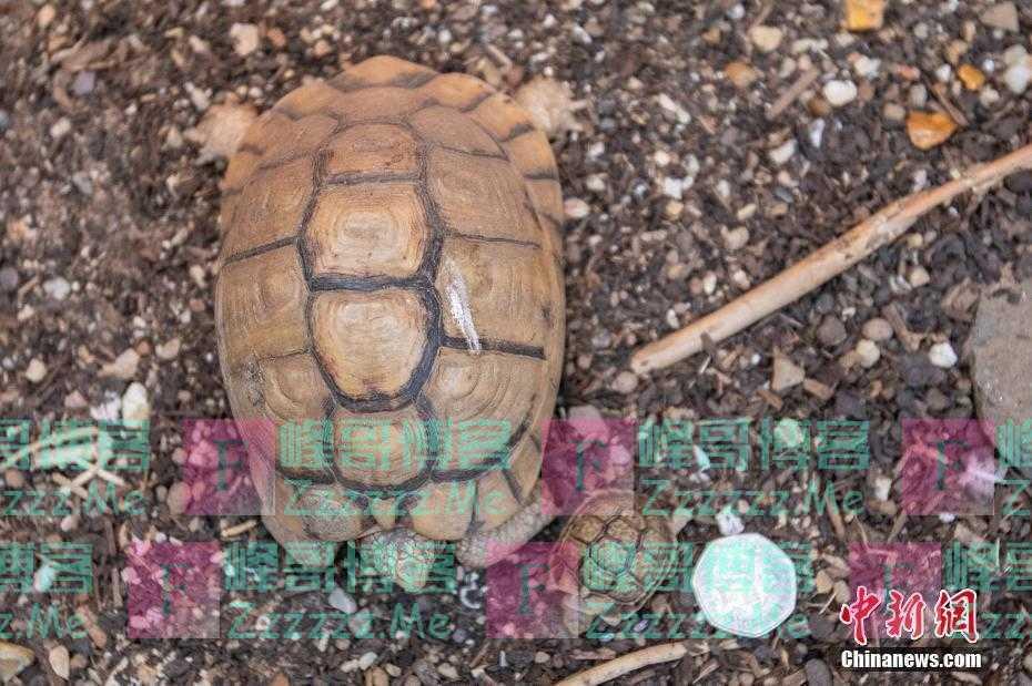 英国威尔士动物园迎罕见硬币大小幼龟