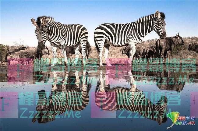 摄影师捕捉完美镜像照 斑马河边饮水演绎对称之美