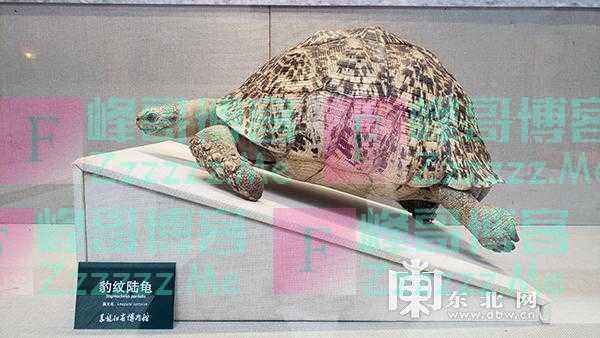 """省博物馆举办""""豹纹陆龟""""特展"""