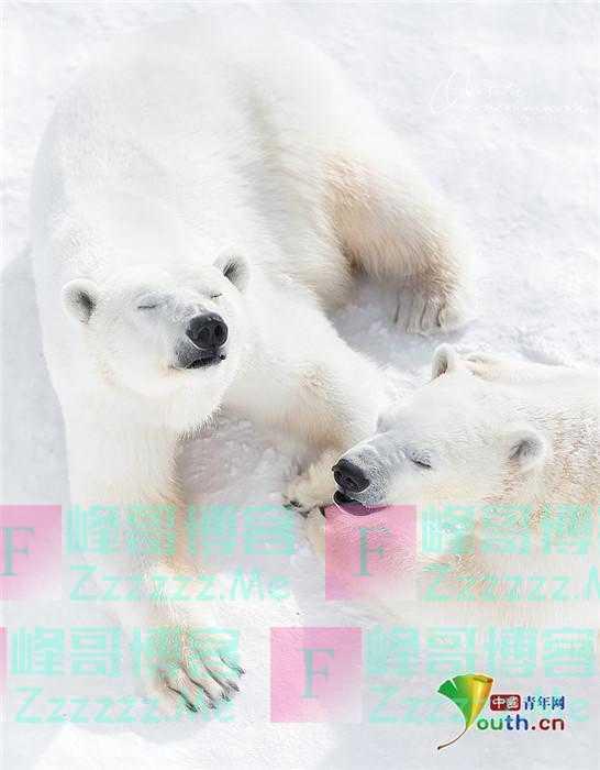 北极熊妈妈与幼崽拥抱嬉戏 咧嘴大笑心情好