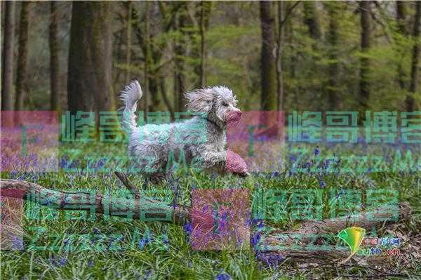 英国萨里郡风景美如画 狗狗在风信子丛中撒欢
