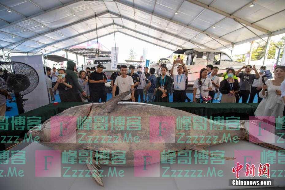 """700斤蓝鳍金枪鱼上演""""开鱼秀"""""""