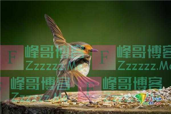 英国知更鸟展翅舞蹈优雅迷人