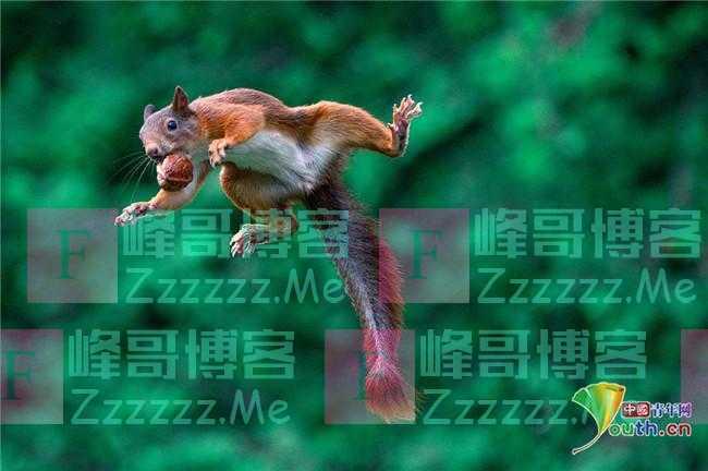 红松鼠嘴叼核桃纵身一跃 四脚腾空上演高难度杂技