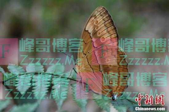 云南金平:1.5亿只蝴蝶大爆发 为十年来最大规模