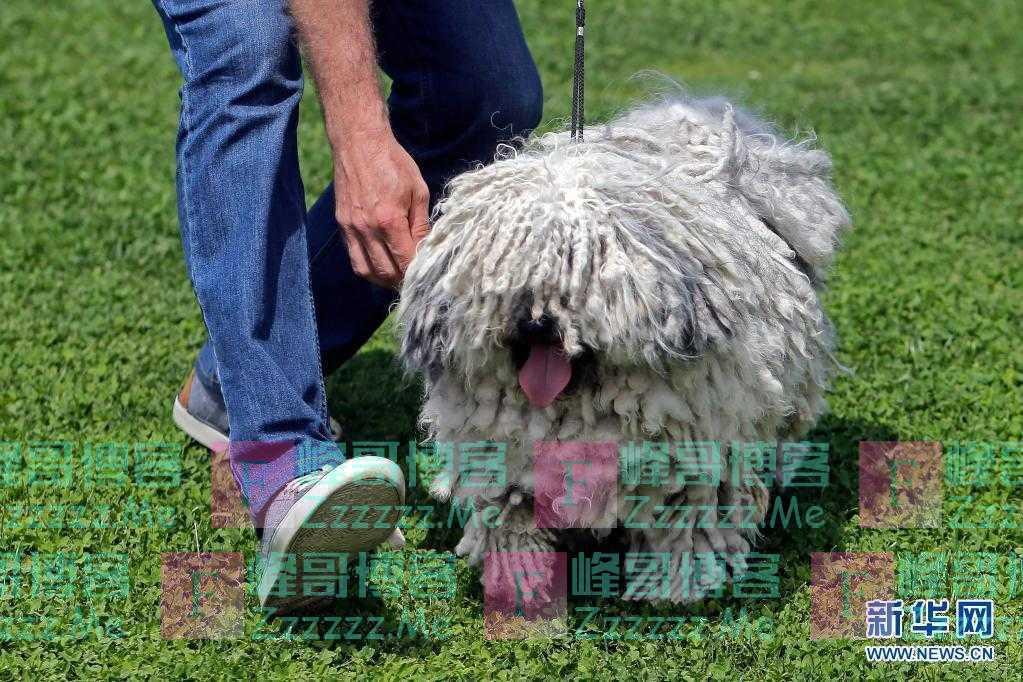 罗马尼亚:狗狗选美比赛