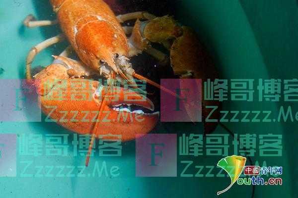 男子从鱼贩手中救下罕见大龙虾 已在水族馆安家