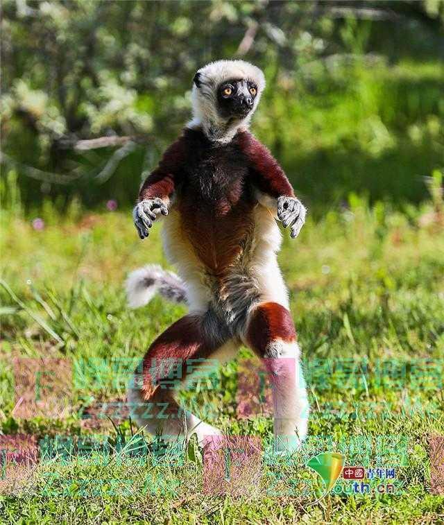 是你没见过的猴子!冕狐猴走路魔性如跳舞