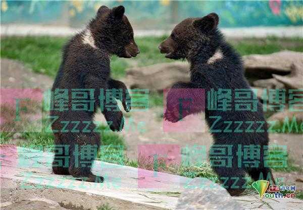 太萌了!乌克兰动物园内棕熊宝宝嬉戏打闹
