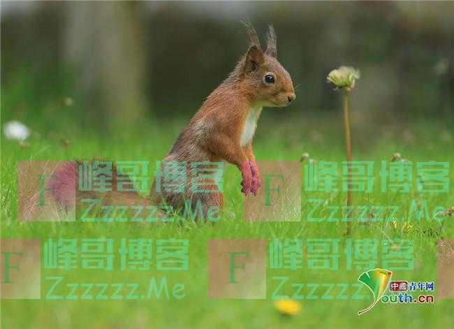 治愈系!英国红松鼠闻花香萌态十足