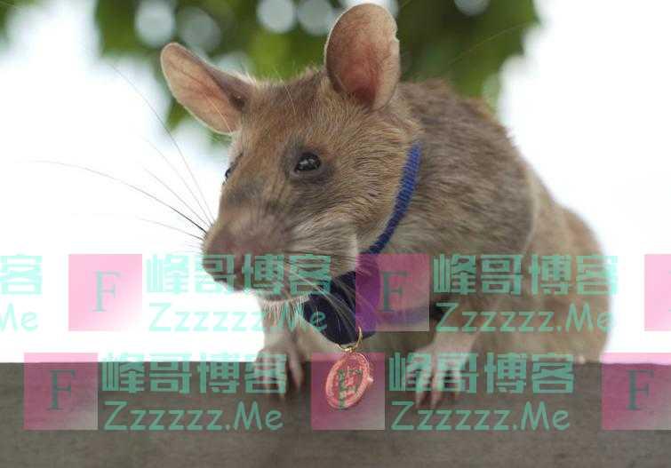 非洲巨鼠在柬埔寨扫雷5年后将退休 曾发现逾百枚地雷炸弹