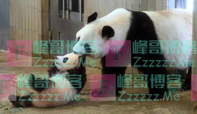 旅日大熊猫真真疑似怀孕 附近中餐馆股票大涨