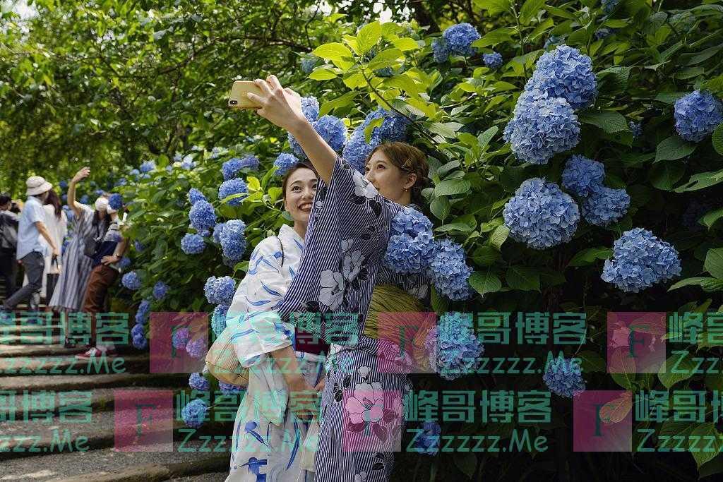 日本镰仓绣球花开 民众观赏拍照