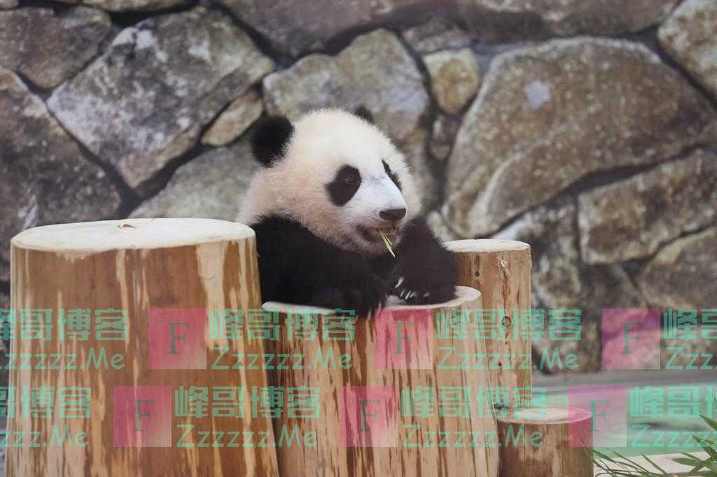 """日本大熊猫宝宝""""枫滨""""亮相 躺平姿势萌萌哒"""