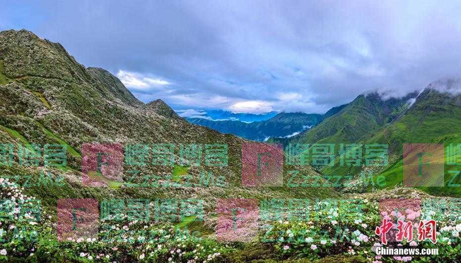 四川宝兴高山峡谷遍地杜鹃花绽放 美不胜收