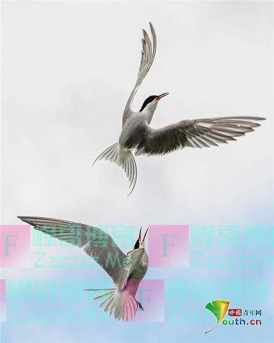 燕鸥空中搏斗争夺领地 完美展示优雅身姿