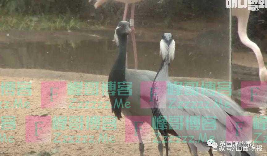 疯狂想恋爱的鹤,追求别鸟无数次被拒后,无法自拔地爱上了自己