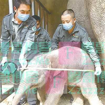 救助亚洲象 一直在行动