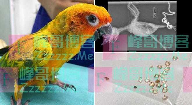 泰国一只调皮鹦鹉吞下主人21颗宝石