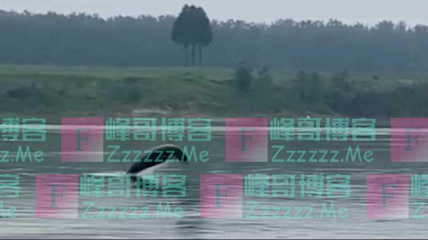 湖北潜江拍到江豚跃出水面 系30年来首次现身该地
