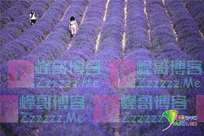 意大利薰衣草盛开 紫色花海引客来