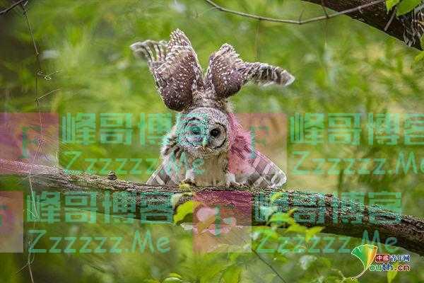 猫头鹰头顶展翅 酷似戴着羽毛帽