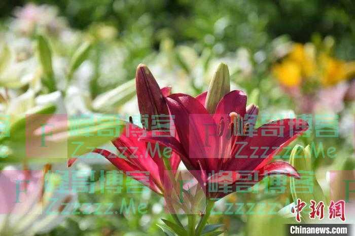 四川茂县:80余亩百合花盛开惹人醉