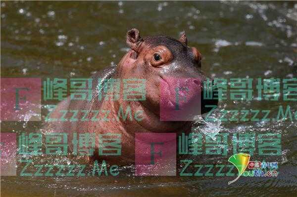 墨西哥河马宝宝在池塘里玩耍 浑身肉嘟嘟萌萌哒