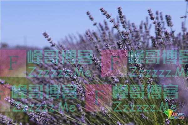 克罗地亚薰衣草田一望无垠 遍地紫色美轮美奂