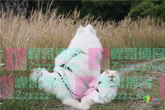 萨摩耶犬与猫咪成好友 微笑表情和暴躁脾气对比鲜明逗趣十足
